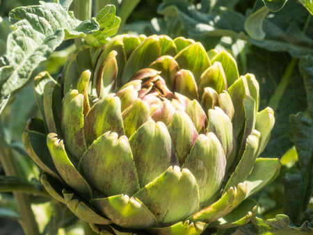 cardunculus scolymus: Globe artichoke (Cynara cardunculus) is a variety of a species of thistle cultivated as a food. Stock Photo