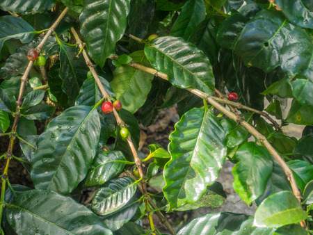 Arabica coffee (Coffea arabica) is a species of Coffea originally indigenous to the mountainous regions of Yemen and the forests of the southwestern highlands of Ethiopia. Stock Photo