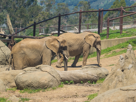 pachyderm: African bush elephant (Loxodonta africana) is the larger of the two species of African elephant. Stock Photo