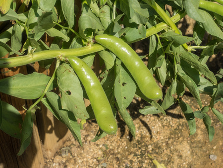 Fava bean (Vicia faba) is a species of flowering plant in the vetch and pea family Fabaceae.