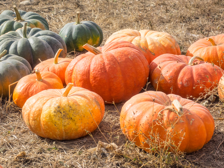 exterior shape: Cinderella pumpkins have a vivid, red-orange, hard exterior and a somewhat flattened shape with deep, characteristic lobes. Stock Photo