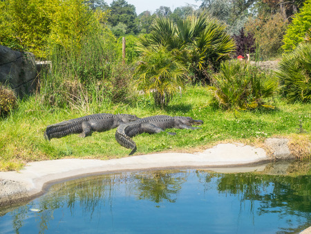 southeastern: American alligator (Alligator mississippiensis) is a large crocodilian reptile endemic to the southeastern United States. Stock Photo