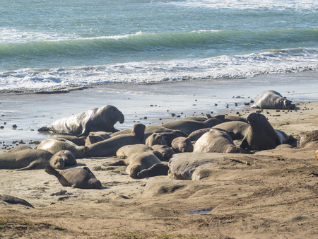Northern elephant seal (Mirounga angustirostris) is one of two species of elephant seal that lives in the eastern Pacific Ocean. Feeding grounds extend from northern Baja California to northern Vancouver Island. Stok Fotoğraf