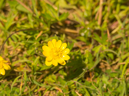 habitats: California buttercup (Ranunculus californicus) is a flowering plant of the buttercup family Ranunculaceae. It is a native of California, where it is common in many habitats, including chaparral and woodlands.