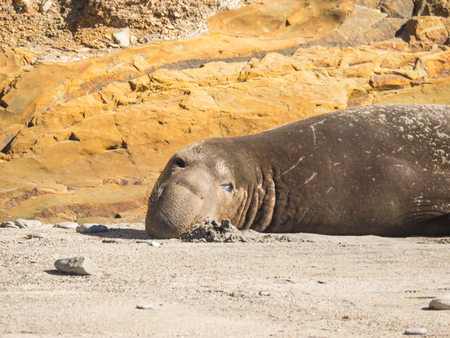 Northern elephant seal (Mirounga angustirostris) is one of two species of elephant seal that lives in the eastern Pacific Ocean. Feeding grounds extend from northern Baja California to northern Vancouver Island. Stock Photo