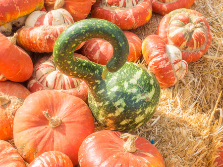 necked: Speckled Swan gourd is graceful long necked gourds uniformly bent along the neck, resembling the arch of a swan�s neck with a characteristic head and beak. Gourds are bright green with white speckles and splotches. Stock Photo