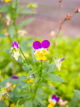 emanating: The pansy flower is two to three inches in diameter and has two slightly overlapping upper petals, two side petals, and a single bottom petal with a slight beard emanating from the flowers center.