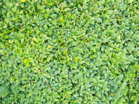 southern europe: European box (Buxus sempervirens) is a species of flowering plant in the genus Buxus, native to western and southern Europe.