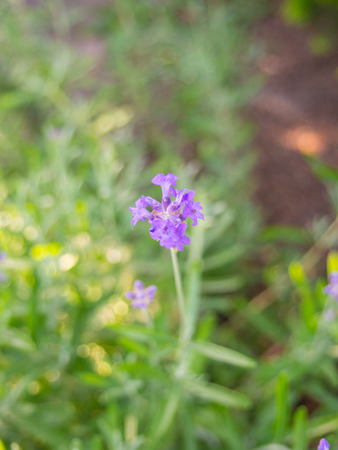 Lavandula angustifolia is a flowering plant in the family Lamiaceae, native to the western Mediterranean, primarily the Pyrenees and other mountains in northern Spain.