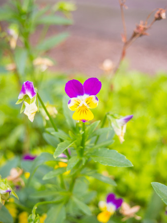The pansy flower is two to three inches in diameter and has two slightly overlapping upper petals, two side petals, and a single bottom petal with a slight beard emanating from the flowers center.
