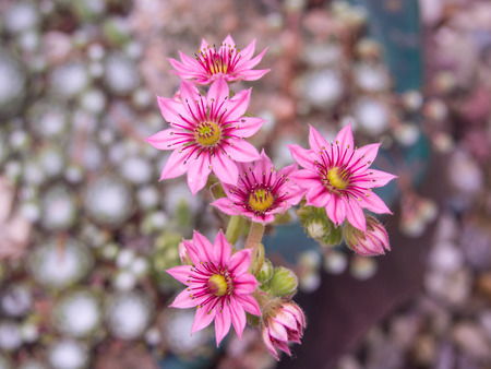 Cobweb house-leek (Sempervivum arachnoideum) is a species of flowering plant in the family Crassulaceae, native to the Alps, Apennines and Carpathians. Imagens