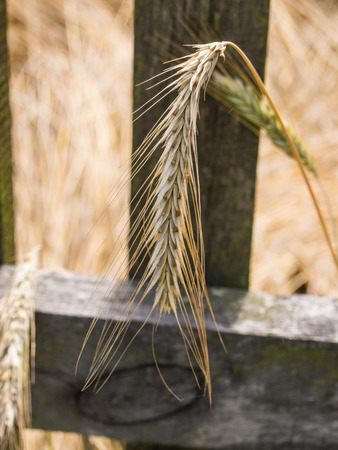 secale: Rye (Secale cereale) is a grass grown extensively as a grain, a cover crop and as a forage crop. Stock Photo