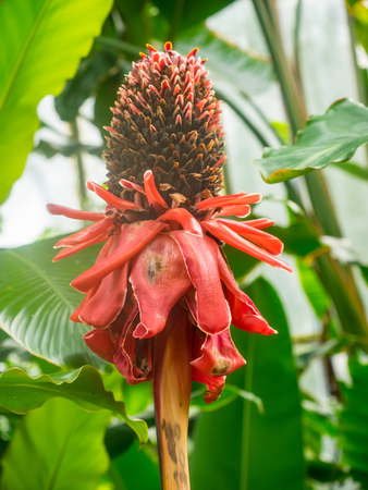 perennial plant: Torch ginger (Etlingera elatior) is a species of herbaceous perennial plant.