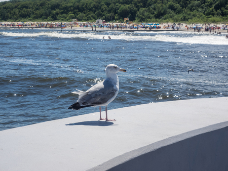 European herring gull (Larus argentatus) is a large gull.One of the best known of all gulls along the shores of Europe. Standard-Bild