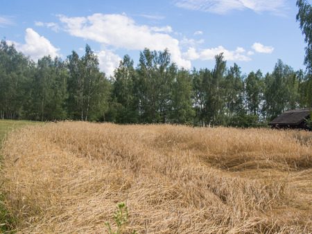 extensively: Rye (Secale cereale) is a grass grown extensively as a grain, a cover crop and as a forage crop. Stock Photo