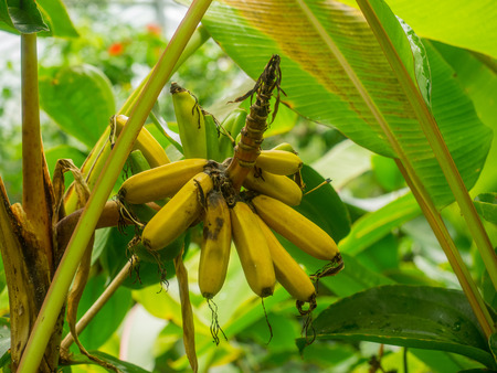 tropical evergreen forest: Wild seeded banana (Musa acuminata) is a species of banana native to Southeast Asia. Stock Photo