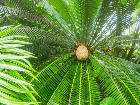 cycad: Giant dioon (Dioon spinulosum) is a cycad endemic to limestone cliffs and rocky hillsides in the tropical rainforests of Veracruz and Oaxaca, Mexico. Stock Photo