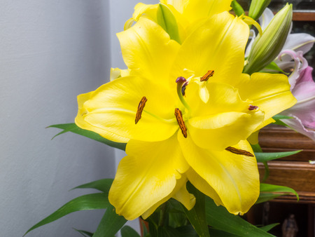 bred: Daylily is a flowering plant in the genus Hemerocallis. Gardening enthusiasts and professional horticulturalists have long bred daylily species for their attractive flowers. Stock Photo
