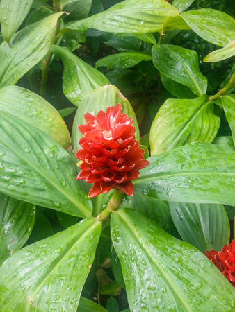 Spiral ginger (Costus barbatus) is a perennial plant with a red inflorescence.