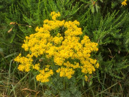 asteraceae: Common ragwort (Jacobaea vulgaris) is a very common wild flower in the family Asteraceae that is native to northern Eurasia.