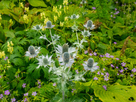 Miss Willmotts ghost (Eryngium giganteum) is a species of flowering plant in the Apiaceae family