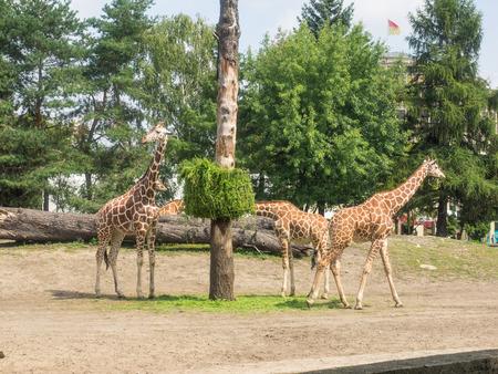 reticulata: Reticulated giraffe (Giraffa camelopardalis reticulata), also known as the Somali giraffe, is a subspecies of giraffe native to Somalia, southern Ethiopia, and northern Kenya. Stock Photo