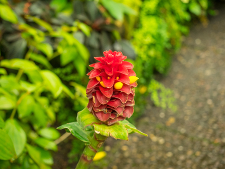 arching: Spiral ginger (Costus barbatus) is a perennial plant with a red inflorescence.