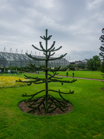 Monkey puzzle tree (Araucaria araucana) is an evergreen tree native to central and southern Chile and western Argentina.
