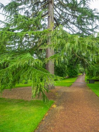 Himalaya-Zeder (Cedrus deodara) ist eine Art von Zedernholz stammt aus dem westlichen Himalaya. Standard-Bild