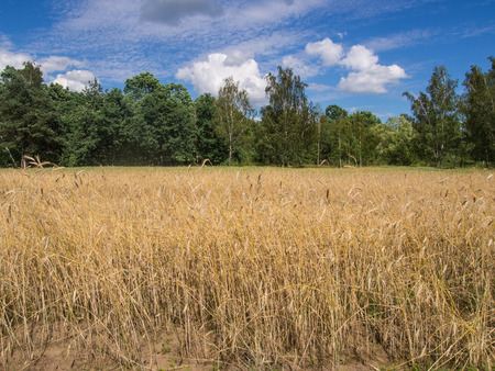 Rye (Secale cereale) is a grass grown extensively as a grain, a cover crop and as a forage crop. Stock Photo
