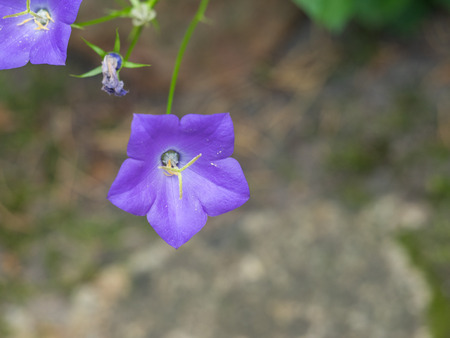 Carpathian harebell (Campanula carpatica) is a species of flowering plant in the family Campanulaceae, native to the Carpathian Mountains of Central Europe.