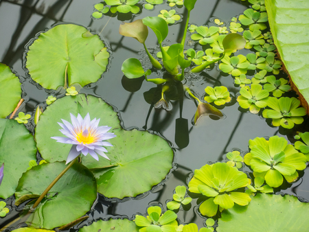 egyptian lily: Egyptian lotus (Nymphaea lotus) is a flowering plant of the family Nymphaeaceae.