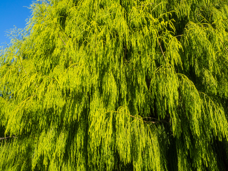 emergent: Rimu (Dacrydium cupressinum) is a large evergreen coniferous tree endemic to the forests of New Zealand. It is a member of the southern conifer group, the podocarps. Stock Photo