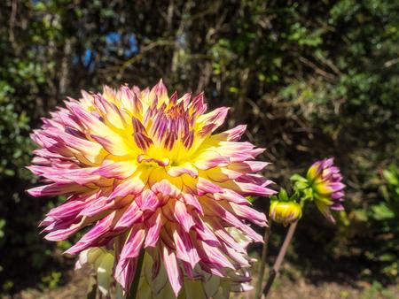 tuberous: Dahlia is a genus of bushy, tuberous, herbaceous perennial plants native to Mexico.