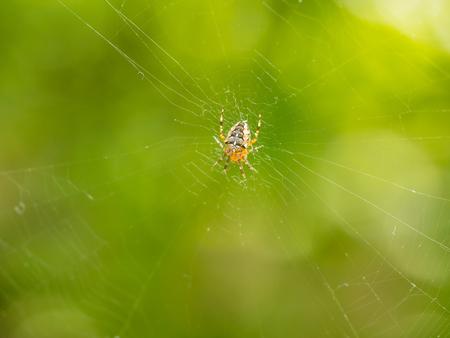 European garden spider (Araneus diadematus) is an orb-weaver spider found in Europe.
