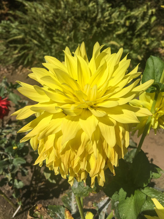 herbaceous: Dahlia is a genus of bushy, tuberous, herbaceous perennial plants native to Mexico.