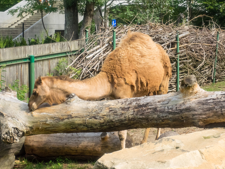 Dromedary (Camelus dromedarius), is a large, even-toed ungulate with one hump on its back.
