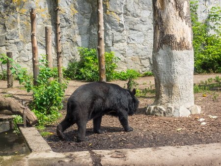 largely: Asian black bear (Ursus thibetanus) is a medium-sized bear species and largely adapted to arboreal life.