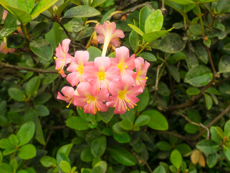 Rhododendron Herzogii x Aurigeranum is a cultivar that was produced by crossing Rhododendron aurigeranum and Rhododendron herzogii.