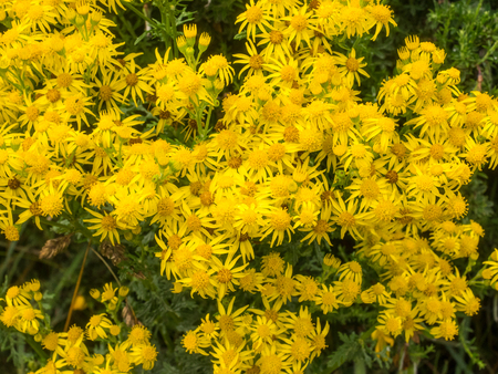 willy: Common ragwort (Jacobaea vulgaris) is a very common wild flower in the family Asteraceae that is native to northern Eurasia.