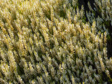 Common heather (Calluna vulgaris) is the sole species in the genus Calluna in the family Ericaceae.