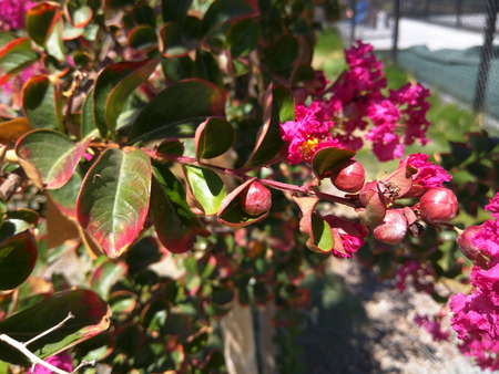 Crape myrtle (Lagerstroemia indica) is multi-stemmed, deciduous tree with a wide spreading, flat topped, rounded, or even spike shaped open habit. Planted in full sun or under canopy, the tree is a popular nesting shrub for songbirds and wrens.