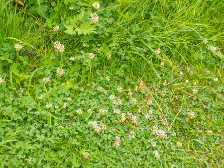 bean family: White clover (Trifolium repens) is a herbaceous perennial plant in the bean family Fabaceae native to Europe. Stock Photo