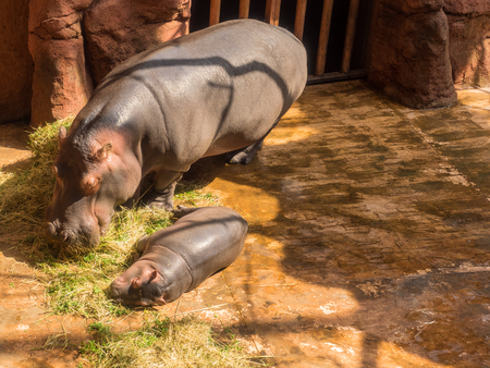 extant: Common hippopotamus (Hippopotamus amphibius) is a large, mostly herbivorous mammal in sub-Saharan Africa, and one of only two extant species in the family Hippopotamidae.