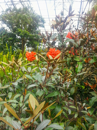 Rhododendron macgregoriae x stenophyllum is a cultivar that was produced by crossing Rhododendron macgregoriae and Rhododendron stenophyllum