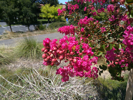 open topped: Crape myrtle (Lagerstroemia indica) is multi-stemmed, deciduous tree with a wide spreading, flat topped, rounded, or even spike shaped open habit. Planted in full sun or under canopy, the tree is a popular nesting shrub for songbirds and wrens.