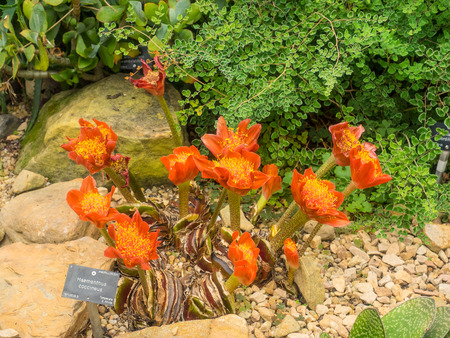 Blood flower (Haemanthus coccineus) is a bulbous geophyte in the genus Haemanthus, native to Southern Africa.