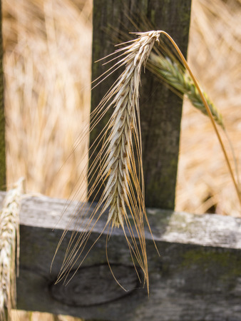 secale: Rye  is a grass grown extensively as a grain, a cover crop and as a forage crop.