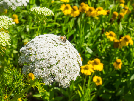 Queen Annes lace (Daucus carota) is a flowering plant in the family Apiaceae, native to temperate regions of Europe and southwest Asia.