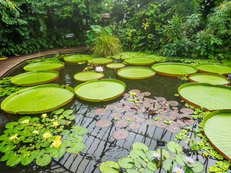 Victoria amazonica is a species of flowering plant, the largest of the Nymphaeaceae family of water lilies.
